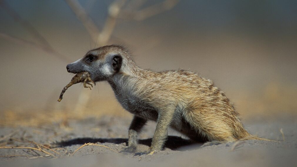 Young meerkats learn to catch and eat scorpions by adults and first give them live prey with the sting removed.  Later, as they grow older and become more mature, they become prey with the remaining sting.